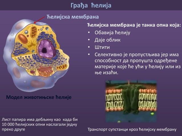 Грађа ћелија Модел животињске ћелије Цитоплазма Сачињена је од: • воде • минерала • беланчевина • масти • шећера Цитоплазм...