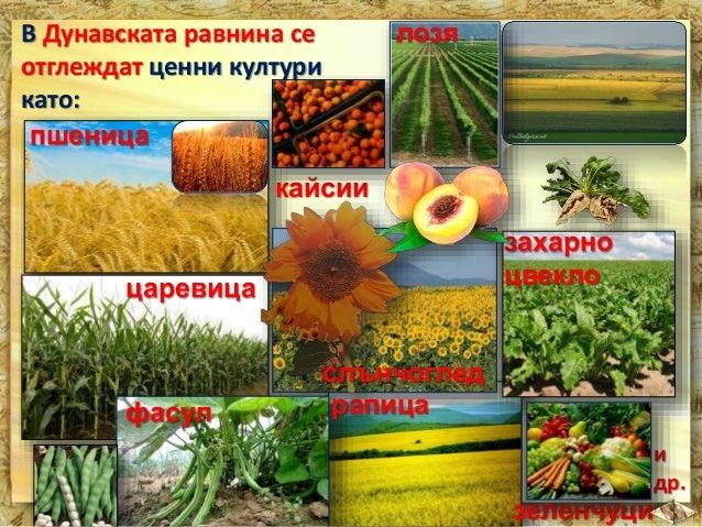 В Добруджа се отглеждат:  жито  слънчоглед  царевица  захарно цвекло  и други