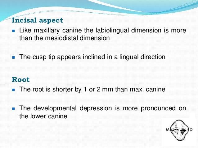 Permanent Maxillary Mandibular Canine