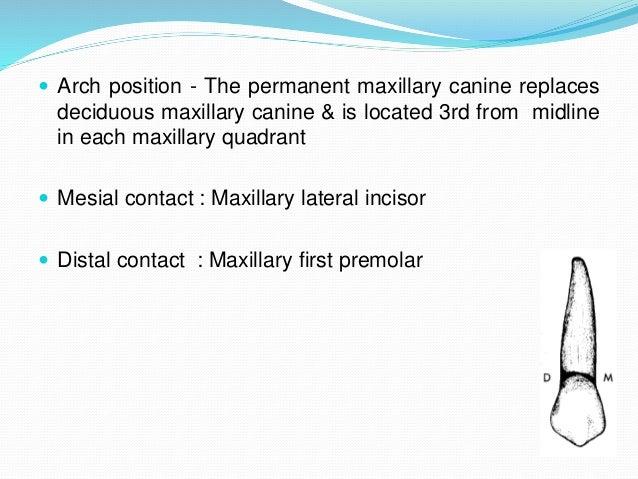 Permanent  Maxillary & Mandibular Canine Slide 3