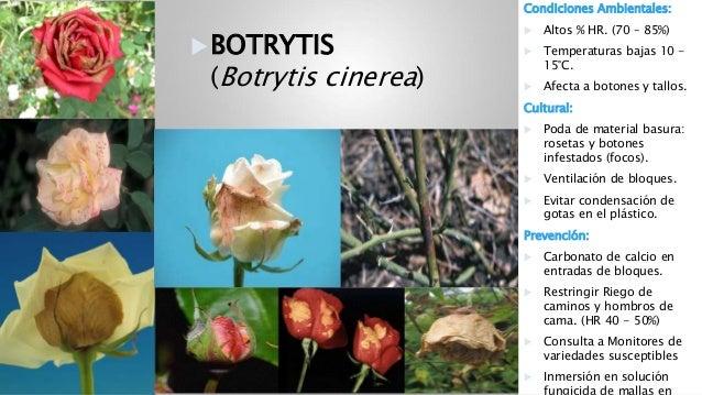 Resultado de imagen para botrytis en rosas pdf