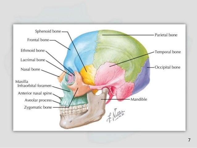 5osteology Of Maxilla And Mandible Facial Nerve