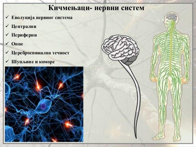 Кичмењаци- нервни систем  Еволуција нервног система  Централни  Периферни  Опне  Цереброспинална течност  Шупљине и ...
