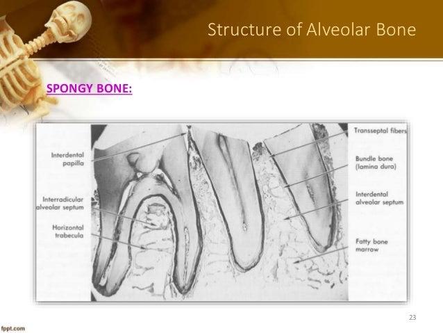 Oral anatomy histology and embryology berkovitz