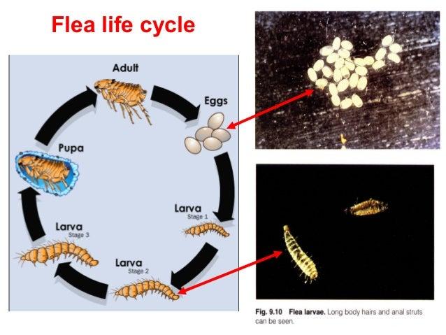 Xenopsylla Cheopis Life Cycle Phylum Arthropo...