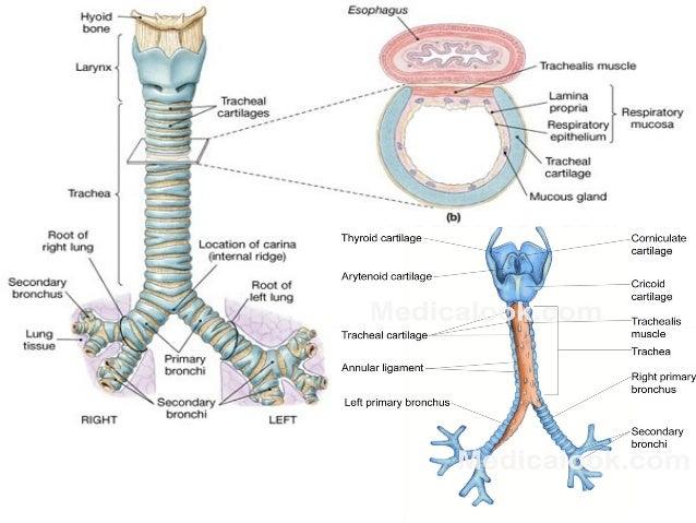Annular Ligament Trachea