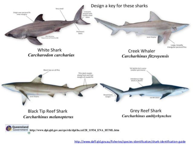 the biological classification of the shark For a trailblazer in the world of shark biology, it is fitting that the new species of shark would be named after her, daly-engel said genie established mote and she lived on the gulf of mexico coast, she said.