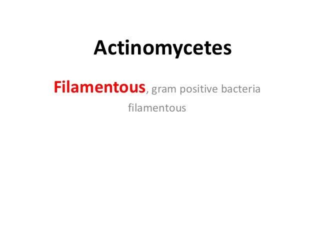 Actinomycetes Filamentous, gram positive bacteria filamentous