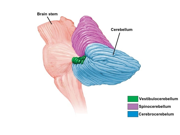 Blank Mind Map Template in addition Anatomy Of Neck Spaces as well Spinal Column   Anatomy  26 Physiology moreover The Diaphragm Anatomy Embryology likewise 35 Cervical Vertebra. on spinal cavity