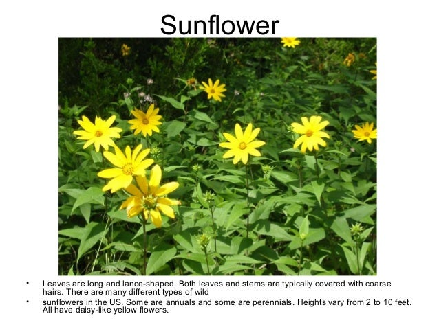 5 common broadleaf weeds in texas all have daisy like yellow flowers 6 mightylinksfo