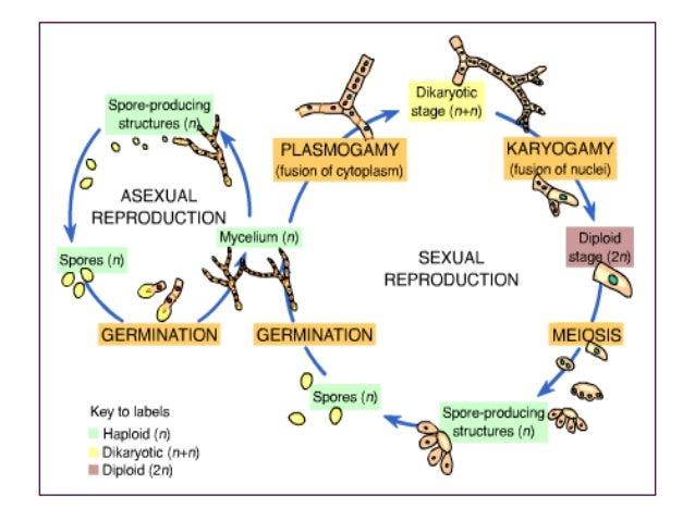 Basidiomycota asexual reproduction in fungi