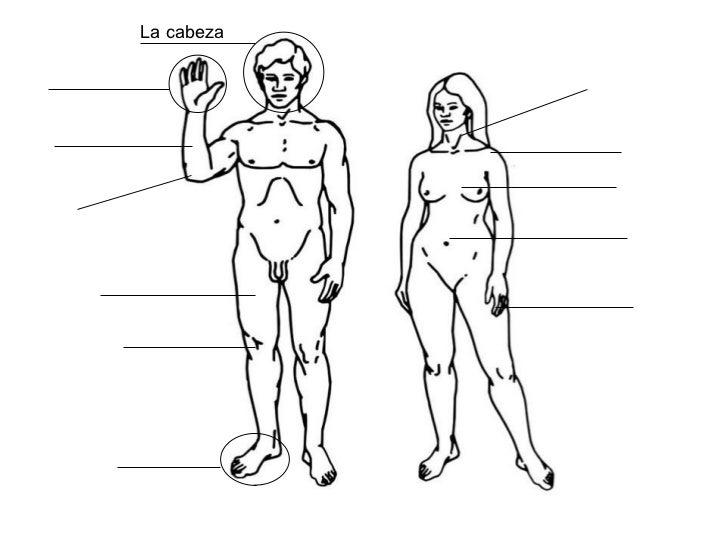 5 Partes Del Cuerpo Humano