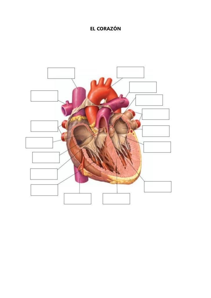 Magnífico Respiratorio Festooning - Imágenes de Anatomía Humana ...