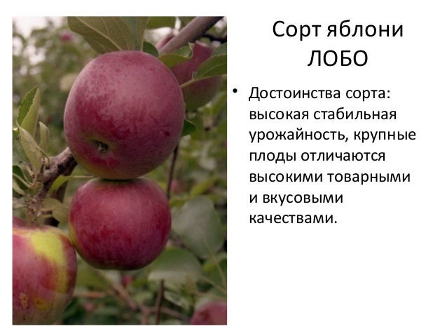 яблоки сорта лобо фото