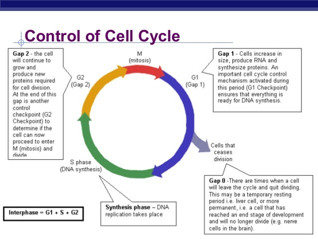 52 ch11mitosis2008 – Cell Cycle Regulation Worksheet