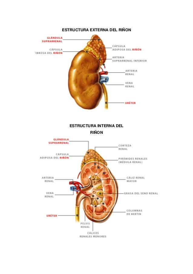 Famoso Riñón Anatomía Externa Inspiración - Imágenes de Anatomía ...