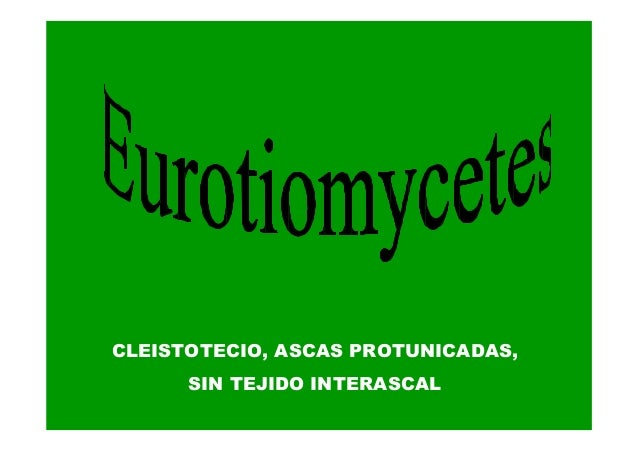 CLEISTOTECIO, ASCAS PROTUNICADAS, SIN TEJIDO INTERASCAL