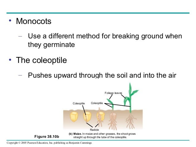 angiosperm reproduction and biotechnology Angiosperm reproduction and biotechnology powerpoint presentation, ppt - docslides- the reason that two sperm cells travel down the angiosperm pollen tube is that  they both stimulate growth of the pollen tube one fertilizes the egg, and the other combines  with the two polar nuclei.