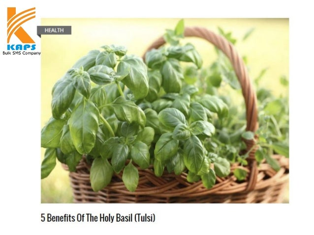 Holy basil (Ocimum tenuiflorum), also known as Tulsi, is not only an important part of the Hindu culture, but also a herba...