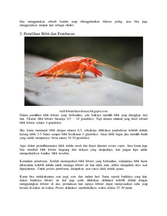 5 Cara Budidaya Lobster Air Laut Yang Mudah Bagi Pemula