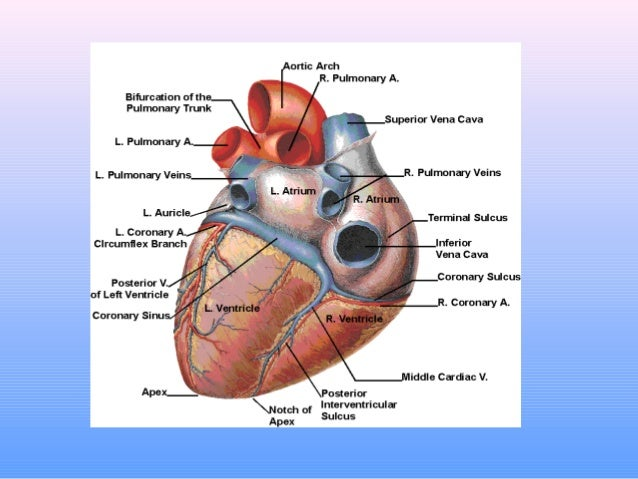 anatomy and function of the coronary arteries