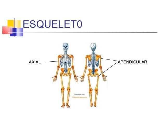 5 esqueleto axial columna