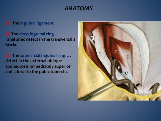  Inguinal canal --from the deep to the superficial inguinal ring --3.75 cm long --directed downwards and medially from th...