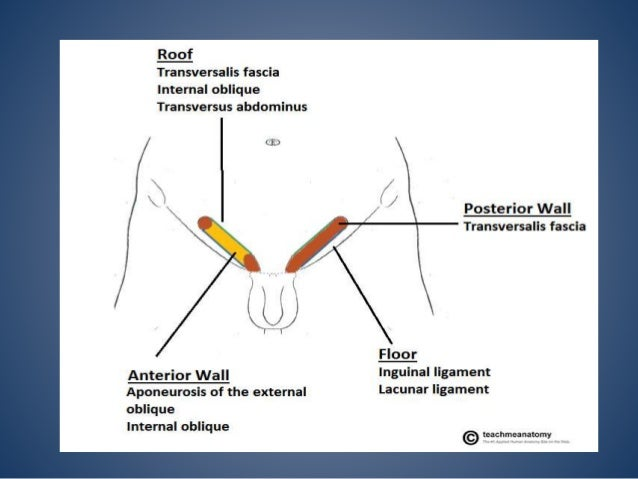  Conjoint tendon