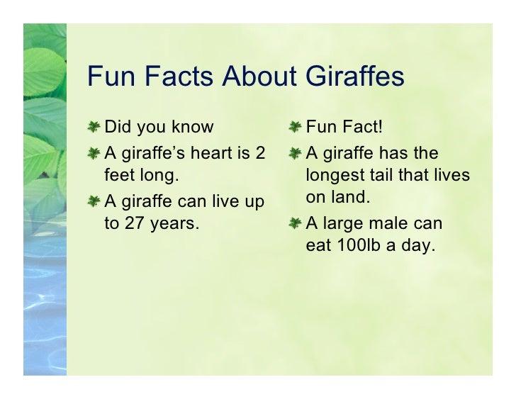 5KL Giraffes