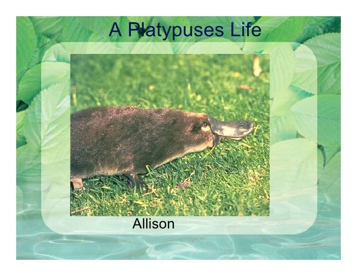 A Platypuses Life       Allison