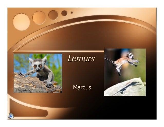 Lemurs Marcus
