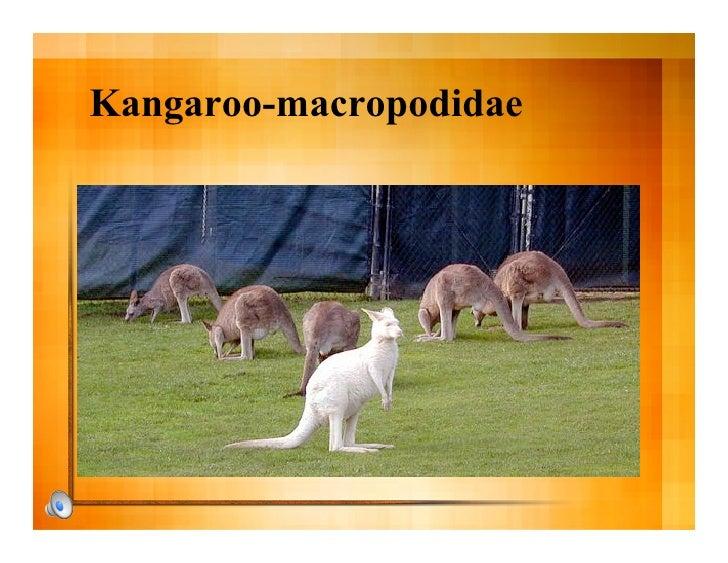 Kangaroo-macropodidae