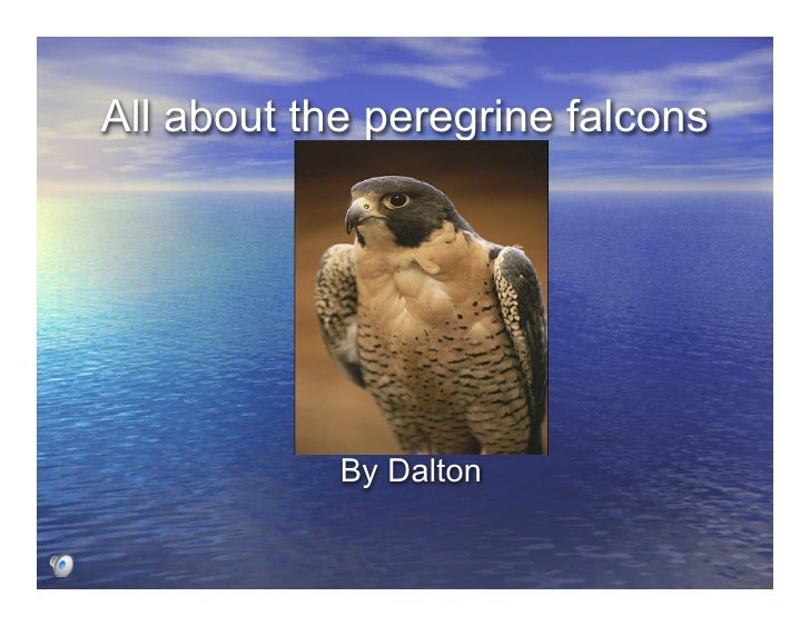 All about the peregrine falcons                 By Dalton