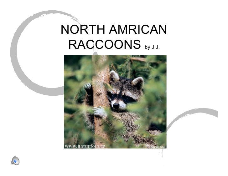 NORTH AMRICAN  RACCOONS by J.J.