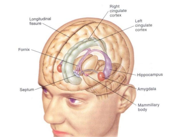 5 limbic system