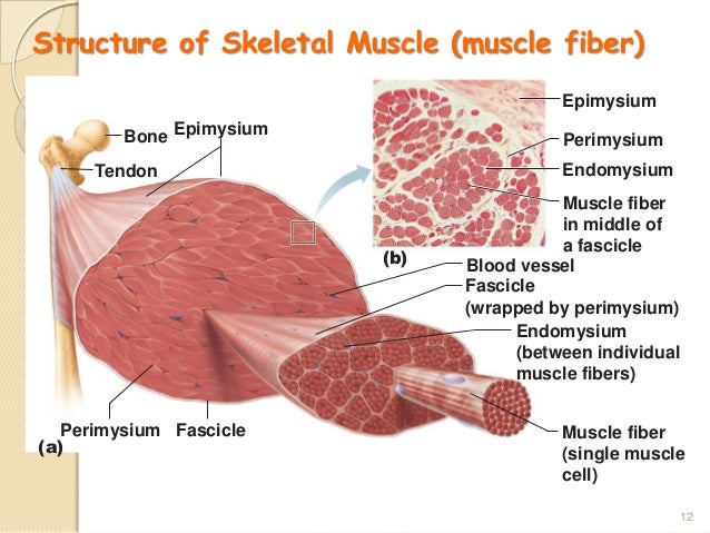 muscular system (our muscle), Muscles