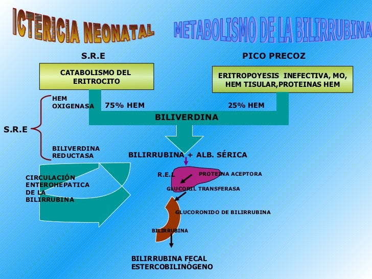 CATABOLISMO DEL  ERITROCITO ERITROPOYESIS  INEFECTIVA, MO, HEM TISULAR,PROTEINAS HEM S.R.E ICTERICIA NEONATAL PICO PRECOZ ...