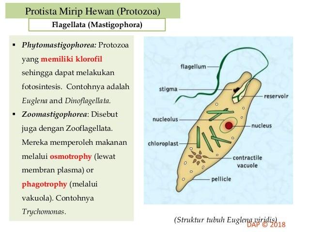 4400 Gambar Protista Mirip Hewan (Protozoa) HD
