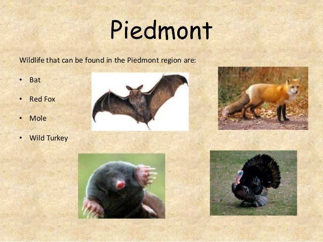 Wildlife that can be found in the Piedmont region are:  • Bat • Red Fox • Mole  • Wild Turkey