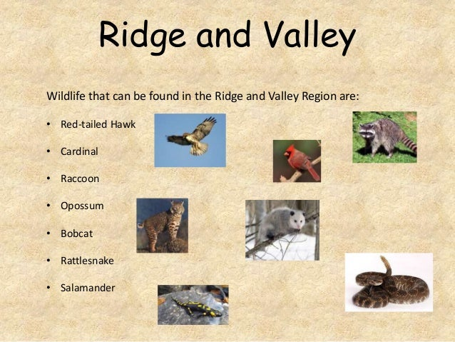 Ridge and Valley Wildlife that can be found in the Ridge and Valley Region are: • Red-tailed Hawk • Cardinal • Raccoon  • ...