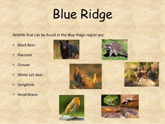 Wildlife that can be found in the Blue Ridge region are: • Black Bear • Raccoon • Grouse • White tail deer • Songbirds • A...