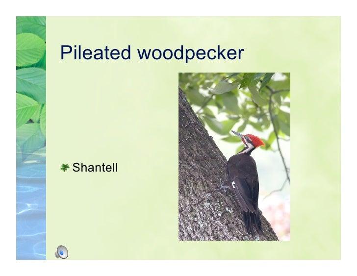Pileated woodpecker      Shantell