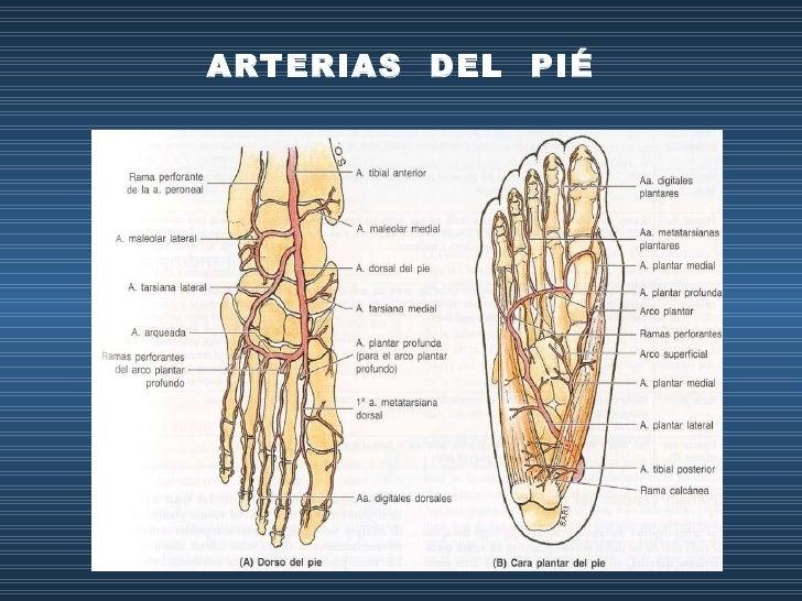 Increíble Anatomía De La Arteria Tobillo Ilustración - Anatomía de ...