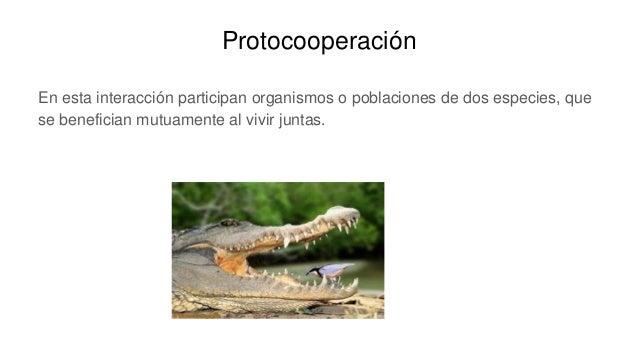Protocooperación En esta interacción participan organismos o poblaciones de dos especies, que se benefician mutuamente al ...