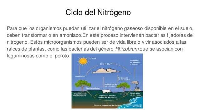 Ciclo del Nitrógeno Para que los organismos puedan utilizar el nitrógeno gaseoso disponible en el suelo, deben transformar...