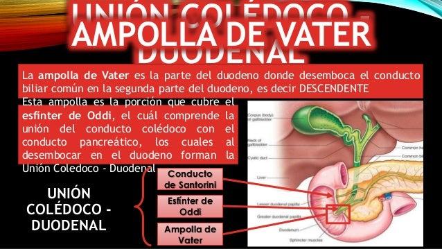 Vesícula biliar, Estructura, Histologia