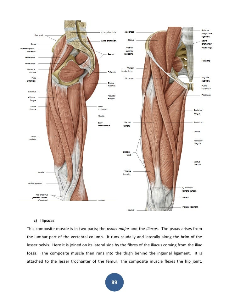 Perfect Hip Flexor Deep In Pelvis Collection Human Anatomy Images