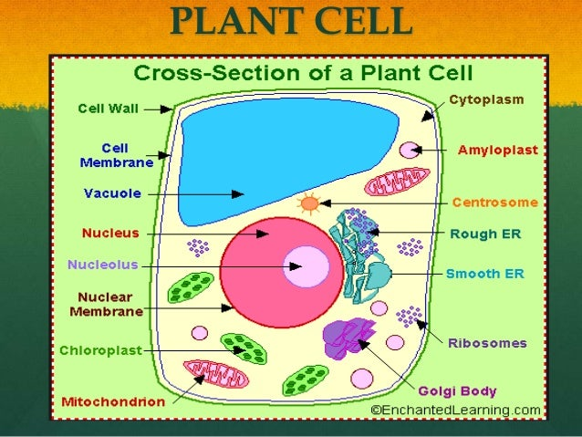 Plant Cell Nuclear Membrane