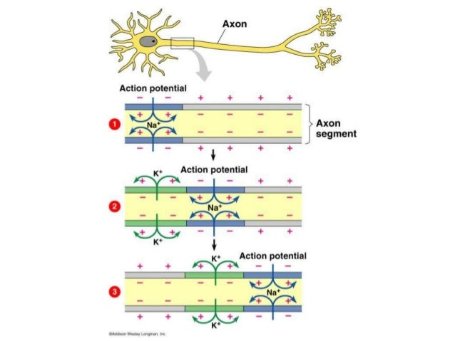 Ib biology 655 explain how a nerve impulse passes along a non myeli ib biology 655 explain how a nerve impulse passes along a non myelinated ccuart Gallery