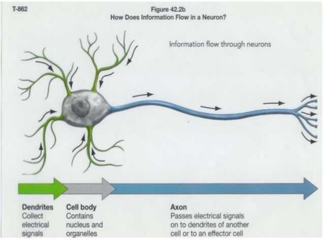 how an impulse travels down a neuron The impulse travels in the dendrite , through the soma (cell body), down the axon, and into multiple terminus (endings) to travel across a synapse , where ion channels w ill bring in calcium ions and potassium so the impulse can pass through, and it repeats until the impulse reaches its destination.